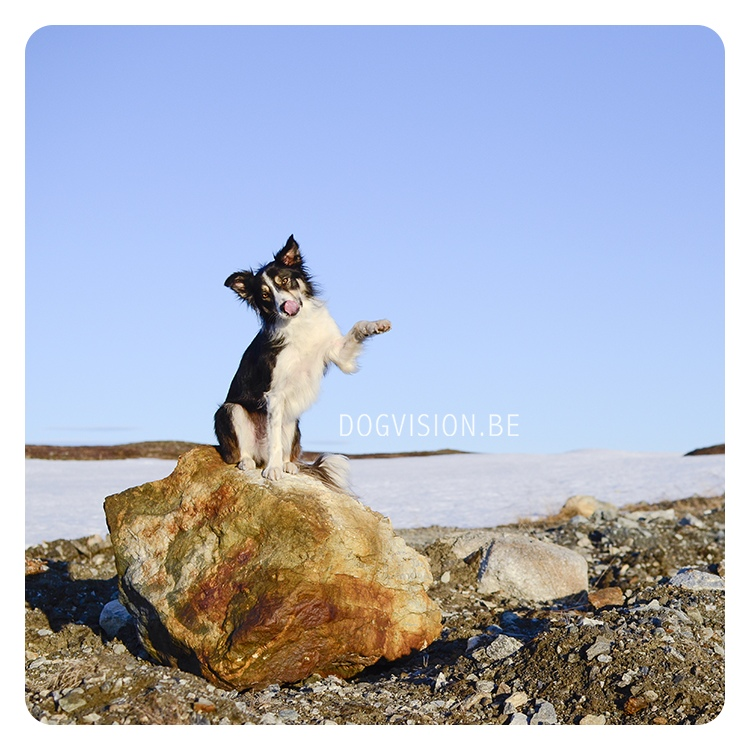 #TongueOutTuesday (30) | MOgwai | Border Collie | Lapland/ Sweden