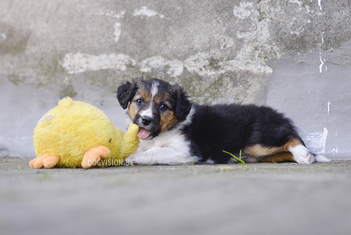 Puppy love! Border Collie puppies   www.DOGvision.be   dog photography Belgium
