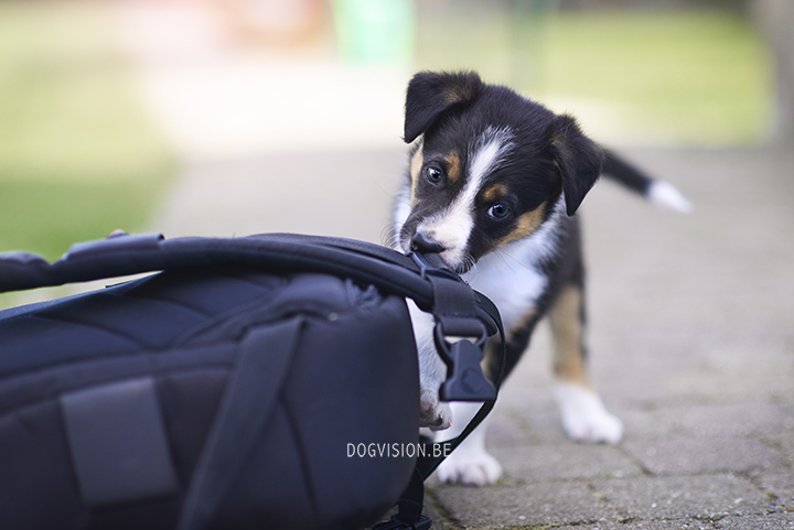 Border Collie puppy | www.DOGvision.be | DOG photography