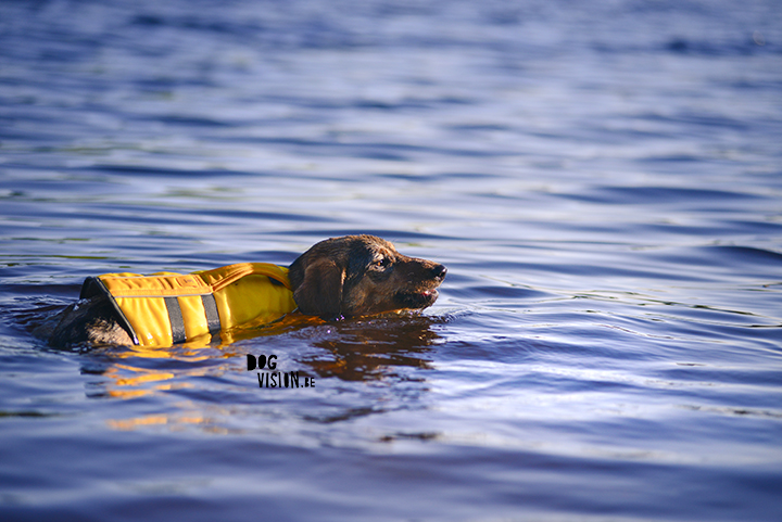 Oona learns to swim with Ruffwear life vest| blog on www.DOGvision.be