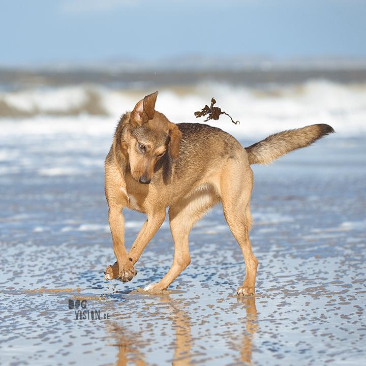 Lightroom presets hondenfotografie | honden aan Zee | Cadzand/Nederland | hondenfotgrafie | www.DOGvision.be